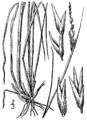 Sporobolus clandestinus (as S. canovirens) BB-1913.png