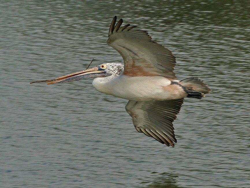 Spot-billed Pelican (Pelecanus philippensis) with nesting material W IMG 2806