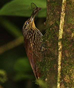 Spot-crowned woodcreeper - Savegre Lodge - Costa Rica