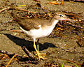 Spotted Sandpiper, non-breeding plumage.jpg