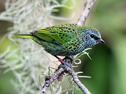 Spotted Tanager RWD4.jpg