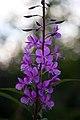 Spring-mountain-wildflower-purple - West Virginia - ForestWander.jpg
