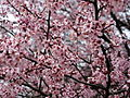 Spring-rain-flowering-plum - West Virginia - ForestWander.jpg