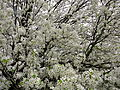 Spring-tree-flowers-white - West Virginia - ForestWander.jpg