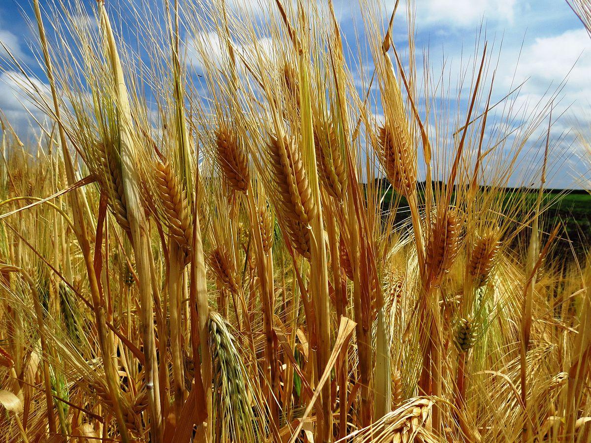 фото ячменя пшеницы ржи неё весьма выдающийся