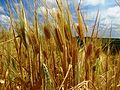 Spring barley in field 2.jpg