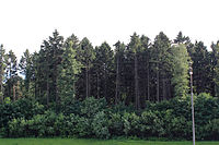 Spruce Forest in Znamenskoe-Sadki Estate.jpg