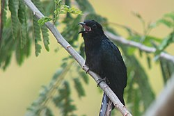 Square-tailed Drongo-Cuckoo.jpg