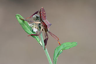 Coreidae - Image: Squash bug Coreidae hz