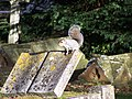 Squirrel in Bredhurst Church Cemetery - geograph.org.uk - 1044550.jpg