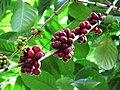 Sri Lankan Coffee beans.jpg