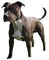 Staffordshire Terrier Américain.jpg