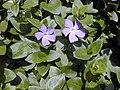 Starr-010419-0053-Vinca major-flowers-Kula-Maui (24423951232).jpg