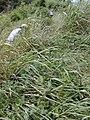 Starr-020620-0048-Coccinia grandis-habit in tall weeds-Kapalua-Maui (24549951995).jpg