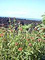 Starr-040410-0026-Zinnia peruviana-flowers-LaPerouse-Maui (24583332212).jpg