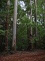 Starr-041024-0161-Eucalyptus sp-habit-Makawao Forest Reserve-Maui (24624734721).jpg