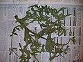 Starr-060305-6576-Sonchus oleraceus-voucher 060228 10-Moku Manu-Oahu (24858134095).jpg