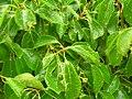 Starr-060429-8044-Cinnamomum camphora-leaves-Auwahi-Maui (24567034310).jpg