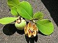Starr-060922-9151-Clusia rosea-immature and ripe fruit-Kahului Airport-Maui (24570270550).jpg