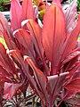 Starr-060928-0422-Cordyline fruticosa-red leaves-County Nursery Kahului-Maui (24773046691).jpg