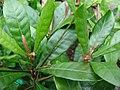 Starr-070906-8598-Synsepalum dulcificum-leaves-Kula Ace Hardware and Nursery-Maui (24263525154).jpg