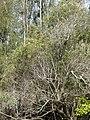 Starr-080611-8470-Olea europaea subsp cuspidata-habit-By seaplane hangar Sand Island-Midway Atoll (24293275943).jpg