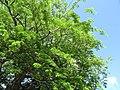 Starr-090610-0456-Enterolobium cyclocarpum-leaves-Haiku-Maui (24595957029).jpg