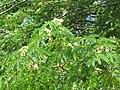 Starr-090616-0786-Enterolobium cyclocarpum-leaves and flowers-Haiku-Maui (24334075614).jpg
