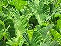 Starr-090720-3069-Colocasia esculenta-habit in loi-Waiehu-Maui (24943877096).jpg