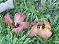 Starr-091104-9187-Hibiscus tiliaceus-flowers on ground-Kahanu Gardens NTBG Kaeleku Hana-Maui (24693265540).jpg