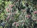 Starr-091115-1127-Eucalyptus sideroxylon-flowers and leaves-Olinda-Maui (24359319374).jpg