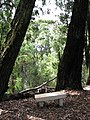 Starr-091115-1307-Eucalyptus sideroxylon-large trees with bench-Olinda-Maui (24872208212).jpg