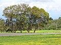 Starr-110301-1750-Jacaranda mimosifolia-habit-Kula-Maui (24446308774).jpg