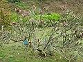 Starr-110307-2468-Banksia menziesii-flowering habit-Kula Botanical Garden-Maui (24710473959).jpg