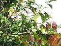 Starr-110330-3640-Persea americana-habit-Garden of Eden Keanae-Maui (25080559615).jpg