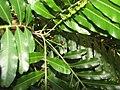 Starr-110330-3929-Filicium decipiens-leaves and fruit-Garden of Eden Keanae-Maui (24713285859).jpg