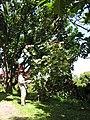 Starr-110330-4125-Hibiscus tiliaceus-variegated habit with Kim-Garden of Eden Keanae-Maui (24963118042).jpg