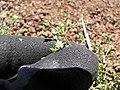 Starr-110727-7998-Arenaria serpyllifolia-flower-Polipoli-Maui (25102030185).jpg