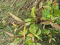 Starr-110924-8492-Syzygium cumini-leaves-Makamakaole-Maui (24818496690).jpg