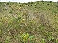 Starr-110924-9549-Syzygium cumini-habit-Makamakaole-Maui (25088745846).jpg