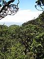 Starr-110929-8700-Polyscias oahuensis-habit-Hanaula-Maui (24486013094).jpg
