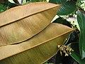 Starr-121108-0831-Chrysophyllum cainito-flowers and backside of leaves-Pali o Waipio-Maui (24828730639).jpg