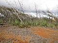 Starr-121220-1303-Agave sisalana-fruiting habit-Near Puu Moaulaiki-Kahoolawe (25197374605).jpg