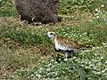 Starr-150326-0730-Lobularia maritima-with Pacific Golden Plover-Town Sand Island-Midway Atoll (24636162894).jpg