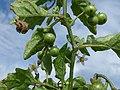 Starr-150401-0118-Solanum americanum-green fruit leaves-West Beach Sand Island-Midway Atoll (24904559669).jpg