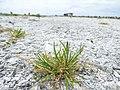 Starr-150402-0692-Poa annua-habit on abandoned runway-Northeast Eastern Island-Midway Atoll (24978153960).jpg