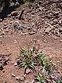 Starr-180820-0338-Chrysopogon aciculatus-seeding habit-Kipahulu Forest Reserve-Maui (43797617295).jpg