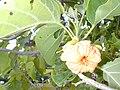 Starr 010206-0222 Cordia subcordata.jpg
