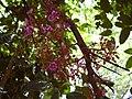 Starr 030523-0076 Averrhoa carambola.jpg