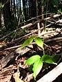 Starr 041219-1594 Canavalia hawaiiensis.jpg